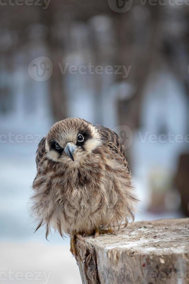 Falcon female sitting on stump photo