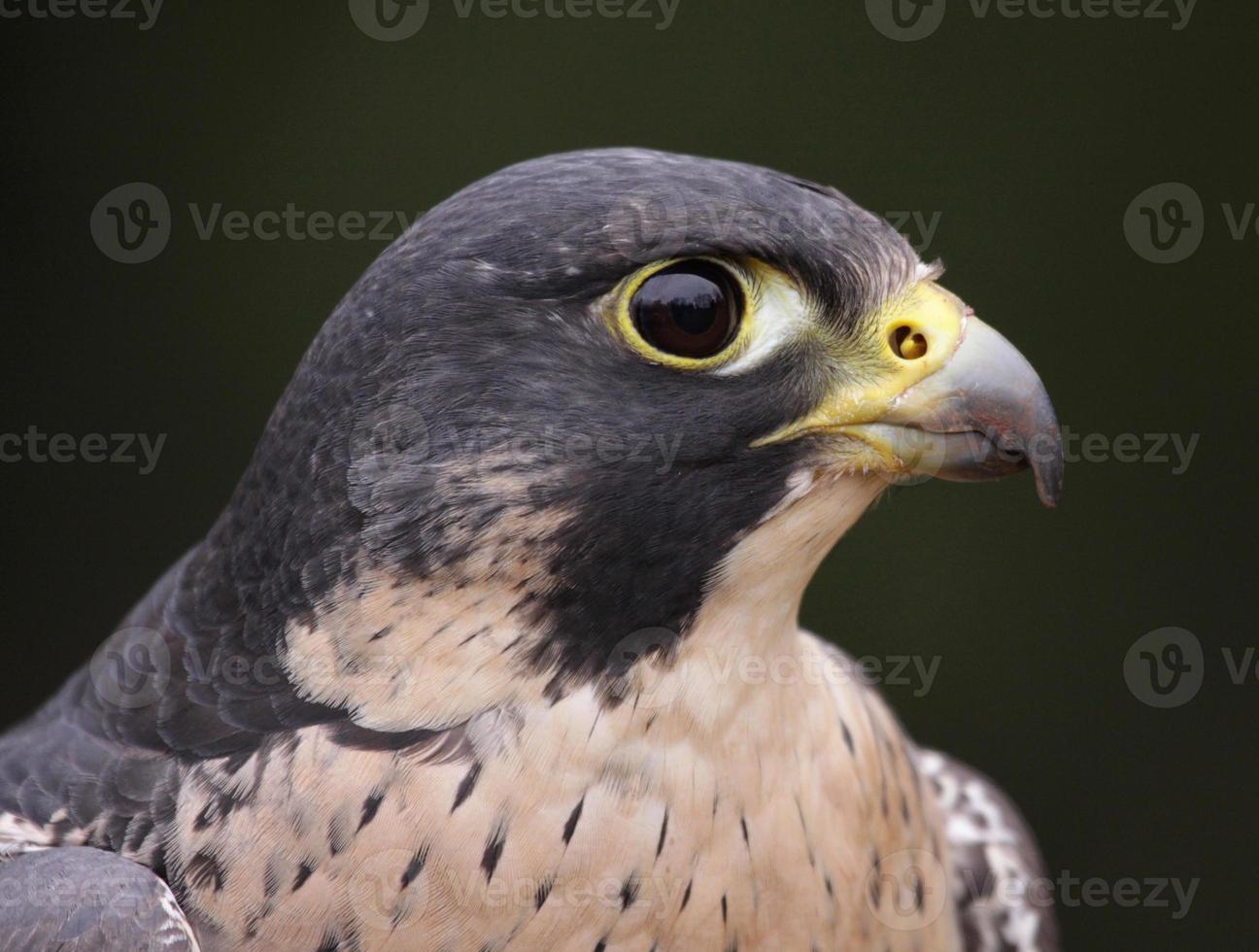primer plano del perfil de halcón peregrino foto