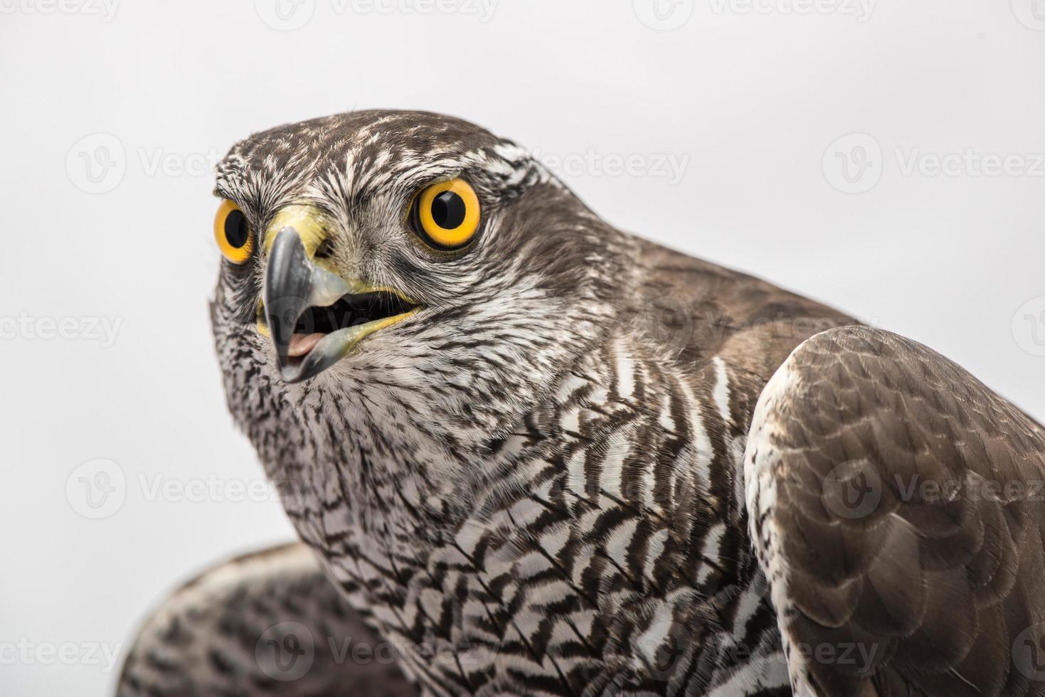 halcones aficionados foto