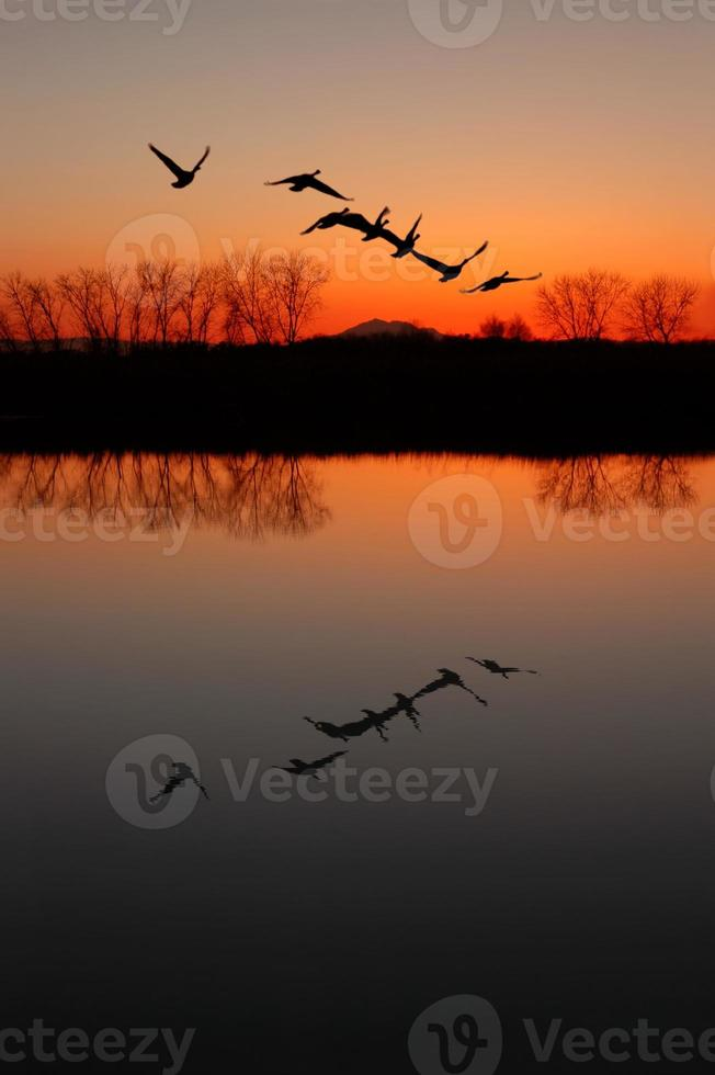 Canadian Geese at Sunset photo