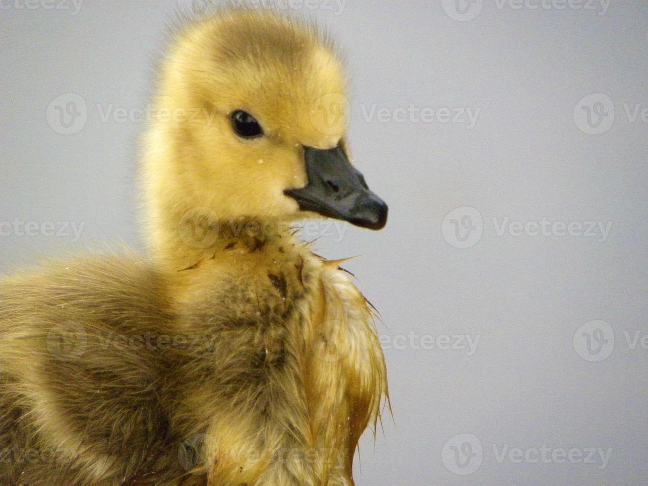 Young Spring Baby Bird photo
