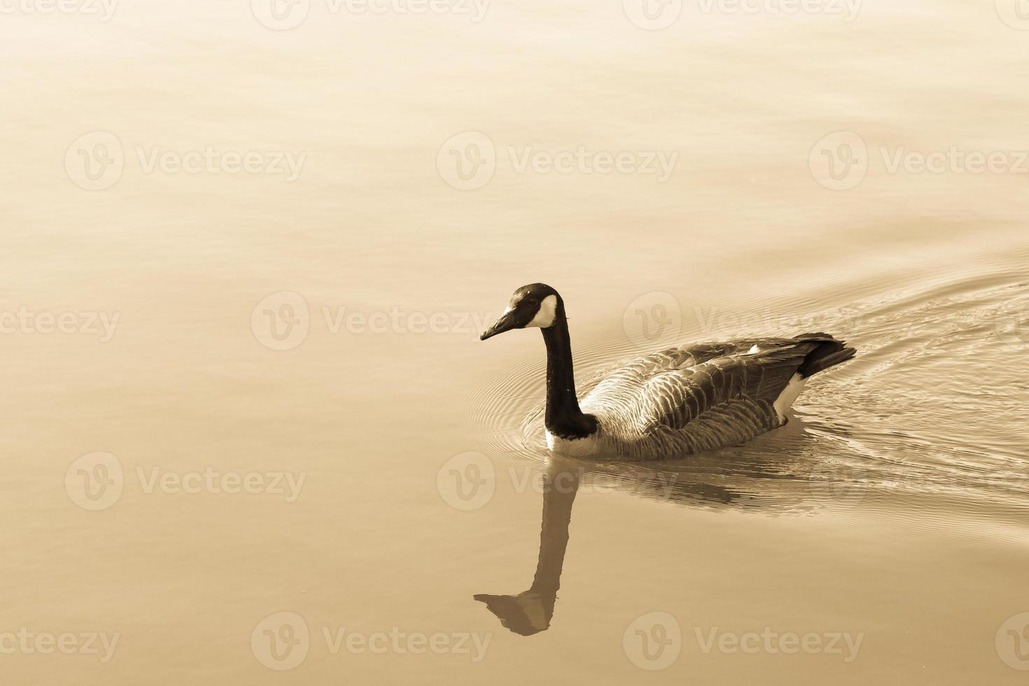 Wild canada goose in the water, branta canadensis. Tinted photo
