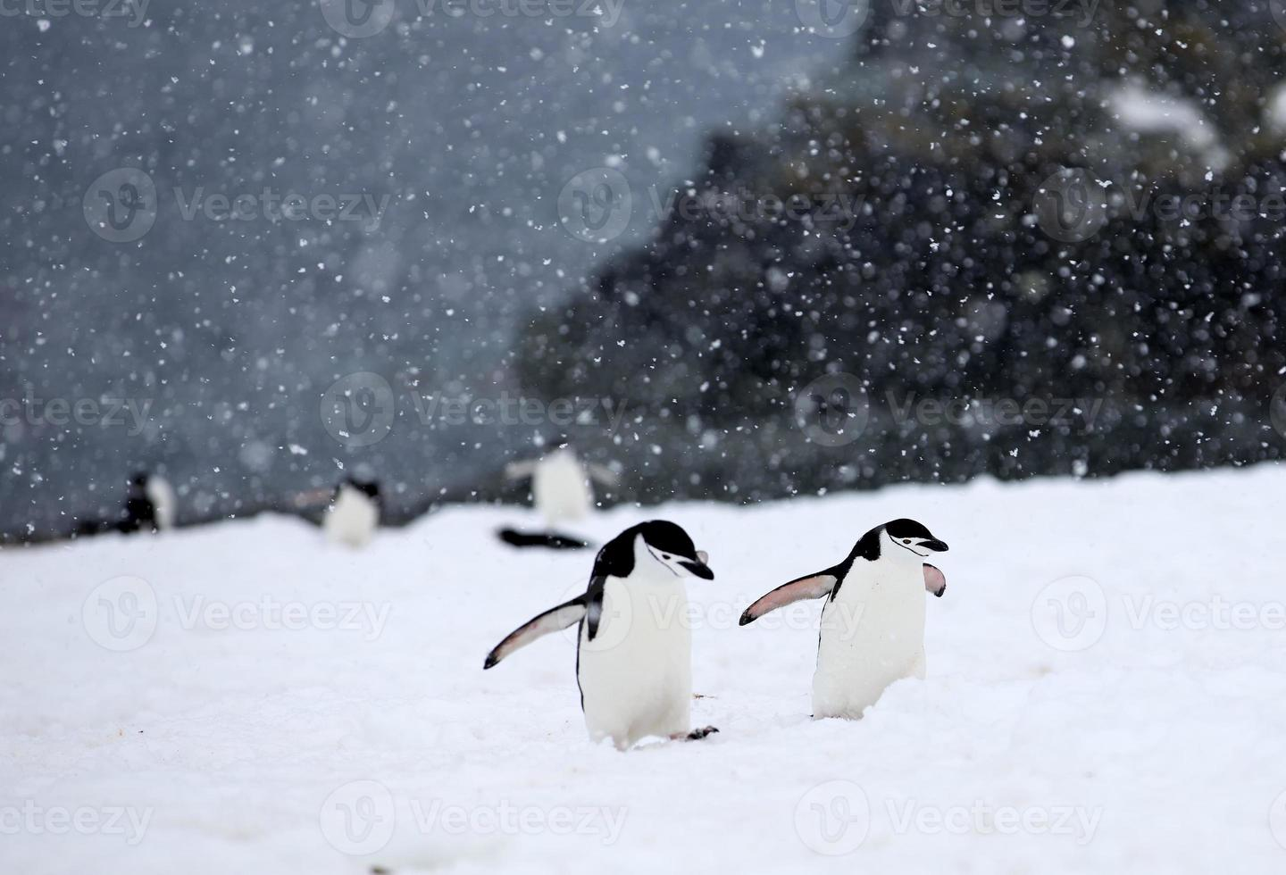Chinstrap Penguins walking up hill in a snow storm photo