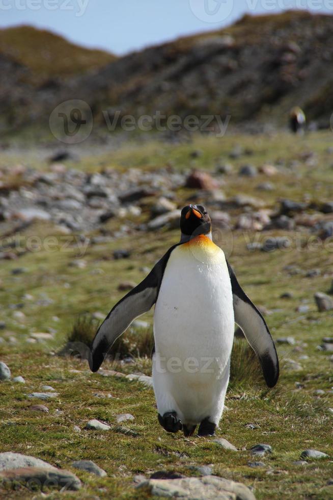 pingüino rey, bahía de fortuna, georgia del sur foto