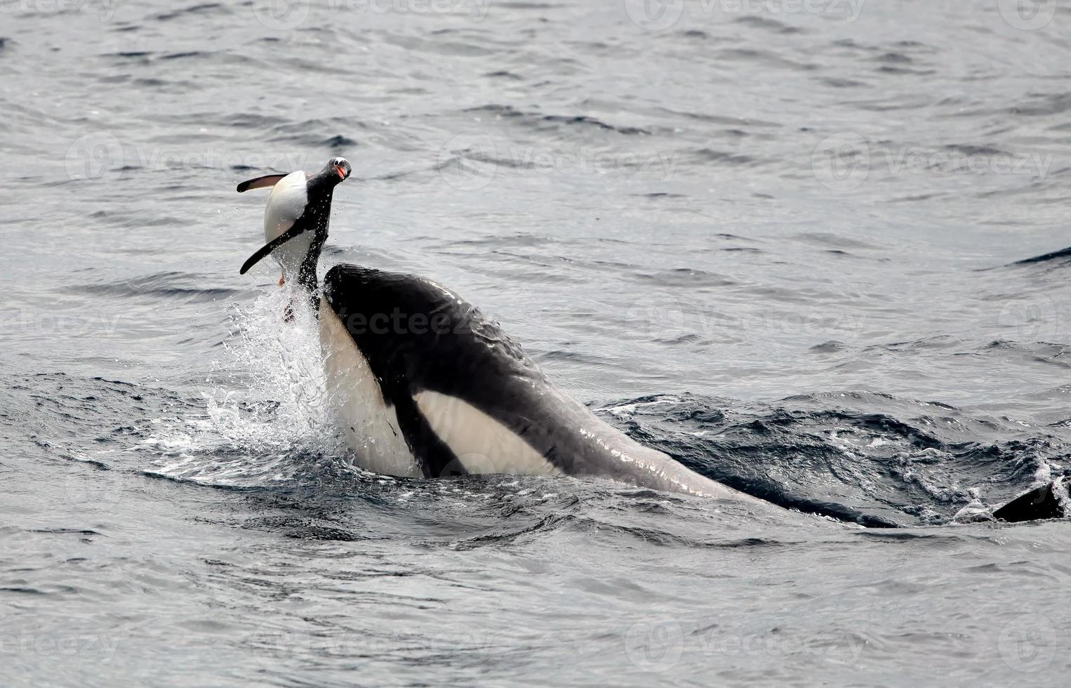 Killer Whale Playing with Gentoo Penguin photo