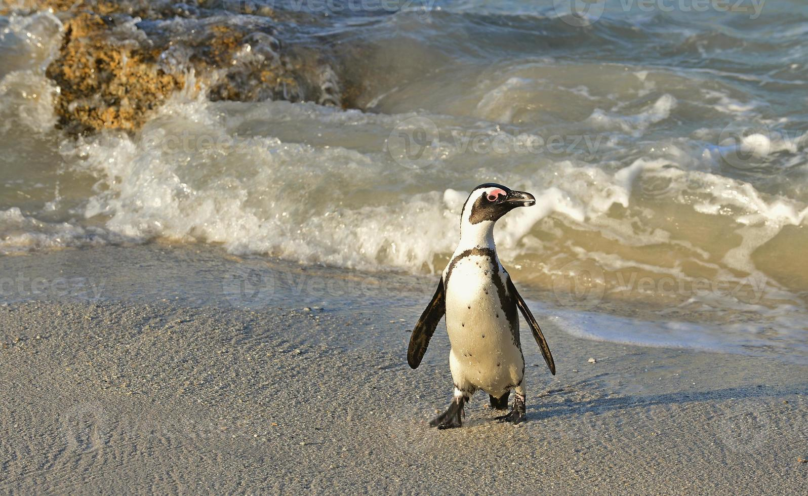 Walking  African penguins (spheniscus demersus) photo