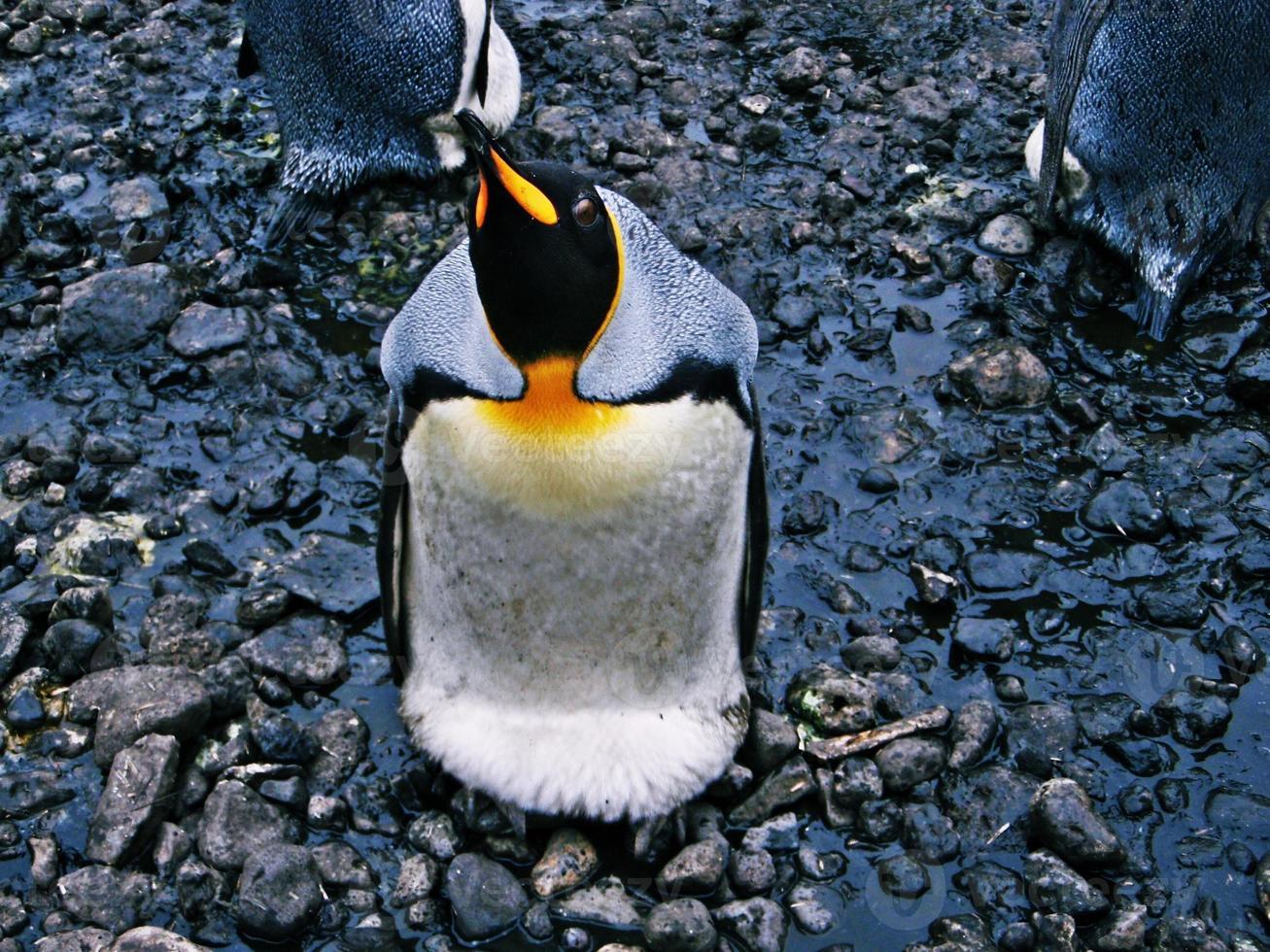 pingüino mirando hacia arriba foto