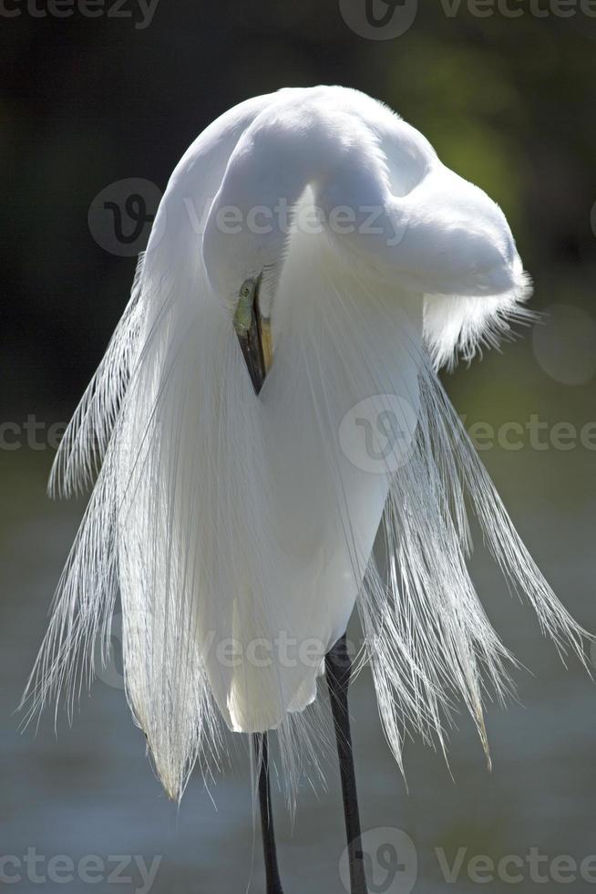 Egret preening its breeding plumage in central Florida. photo
