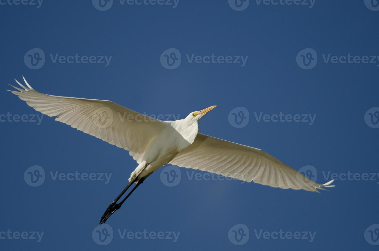 Great Egret Flying in a Blue Sky photo