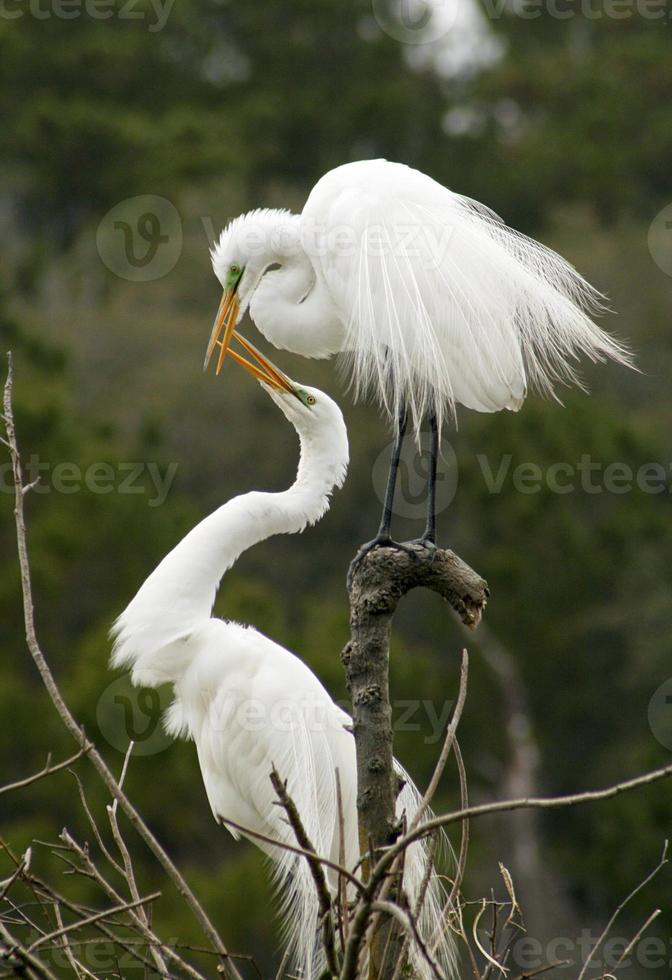 Mating behavior of two egrets in Georgia. photo