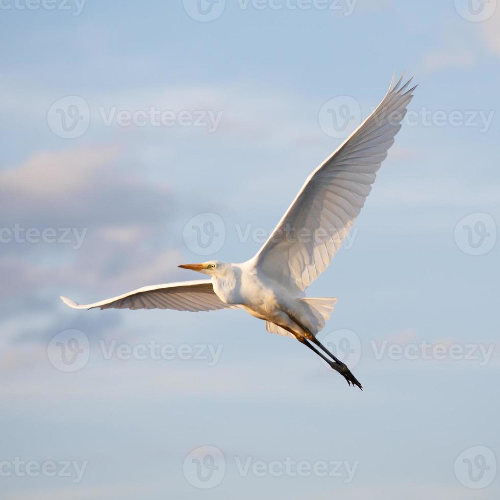 Great egret flying photo