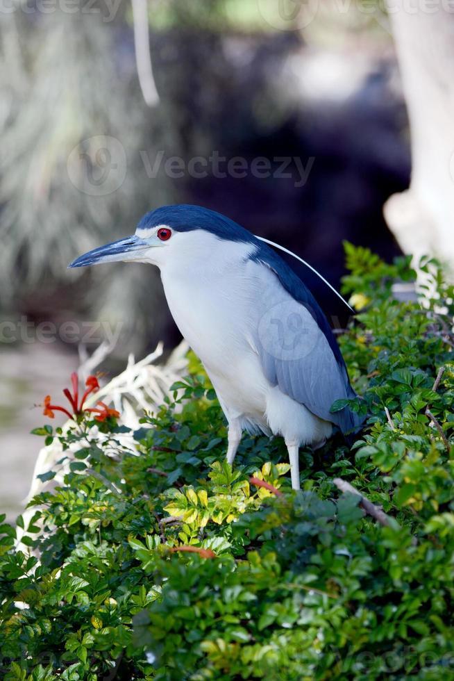 Black-crowned night heron photo