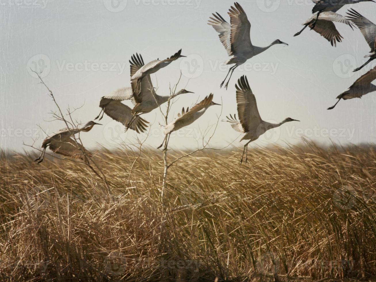 Sand hill Cranes Tacking Off Abstract photo