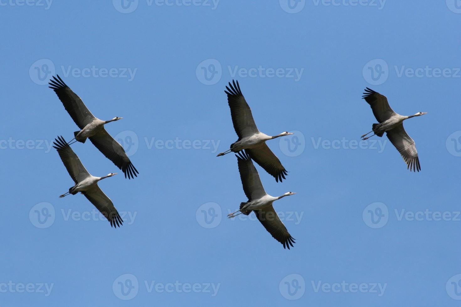 Grulla común (grus grus) en vuelo foto