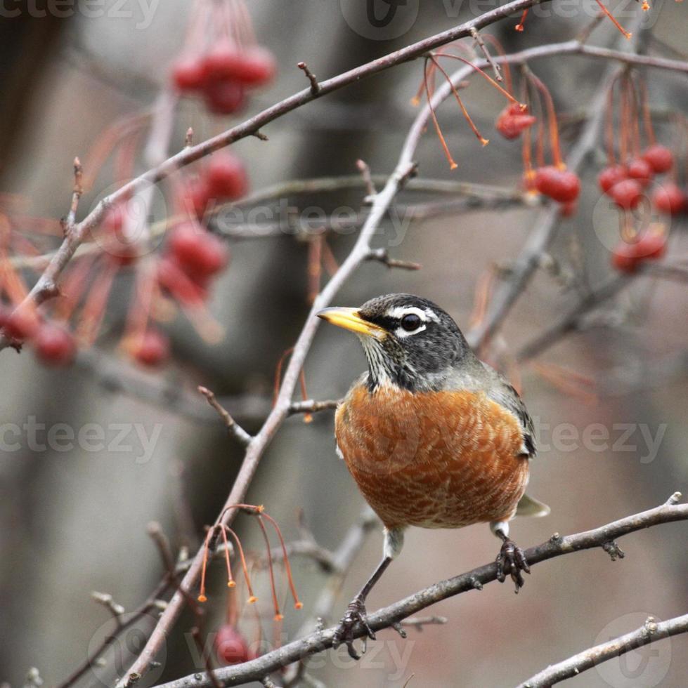 Robin (Turdus migratorius) in a Crabapple Tree photo