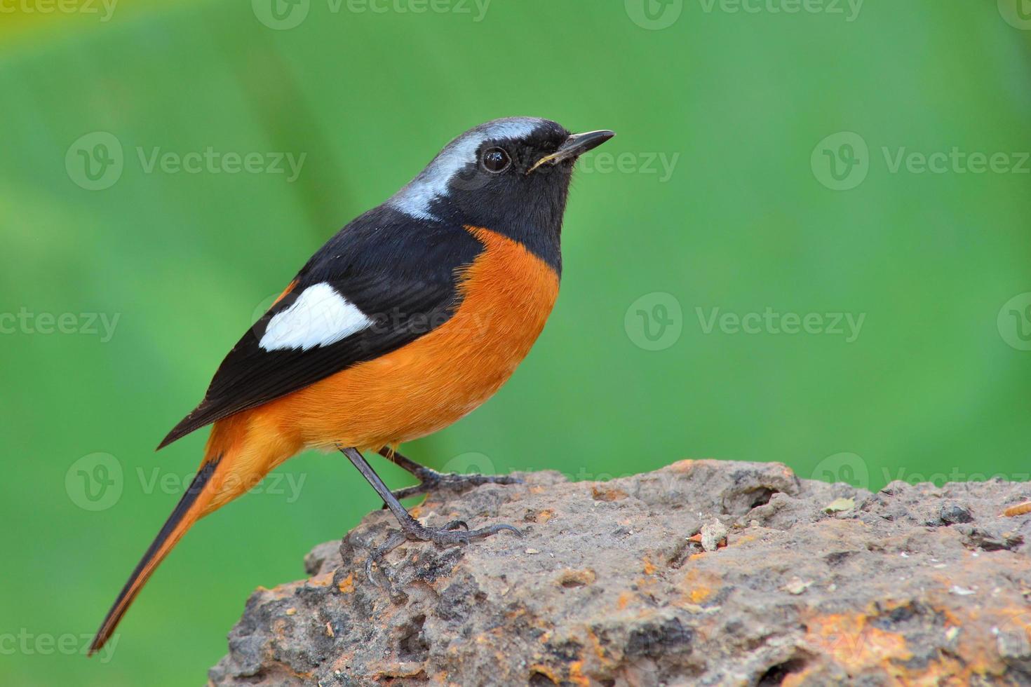 pájaro de colirrojo de Daurian foto
