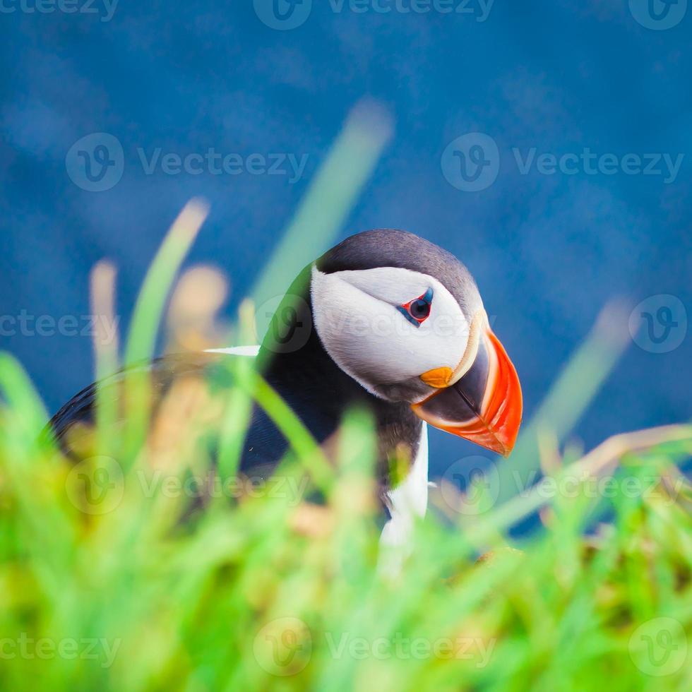 Beautiful vibrant picture of Atlantic Puffins on Latrabjarg cliffs photo
