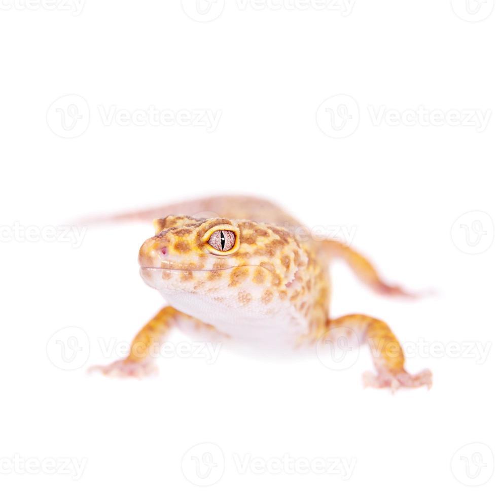 Gecko leopardo sobre un fondo blanco. foto