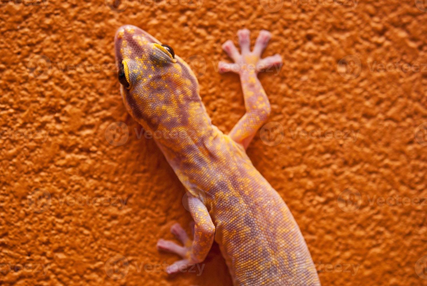 Gecko de terciopelo veteado en Australia central foto