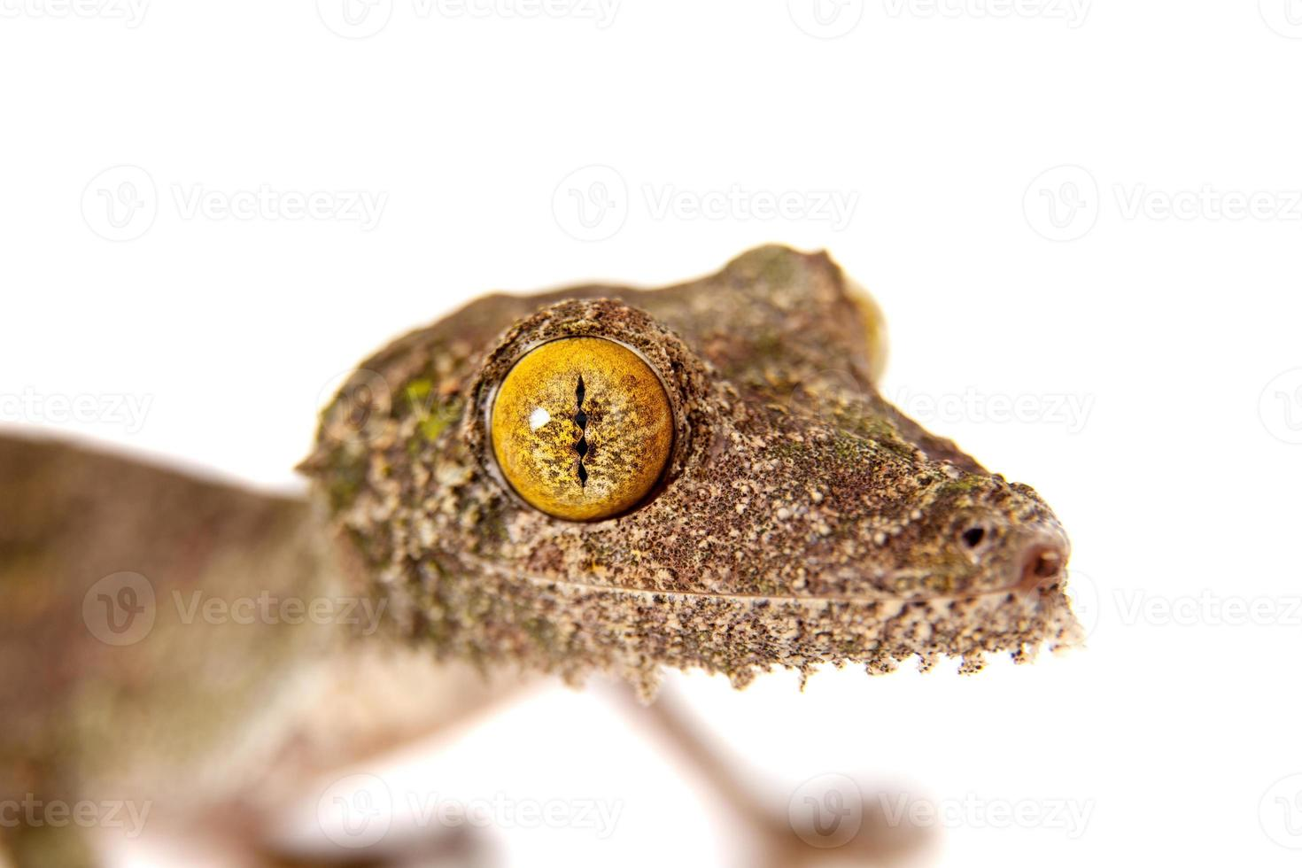 Leaf-tailed Gecko, uroplatus sameiti on white photo