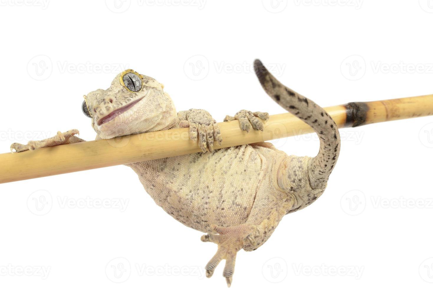 gargoyale geck aferrándose al bambú foto