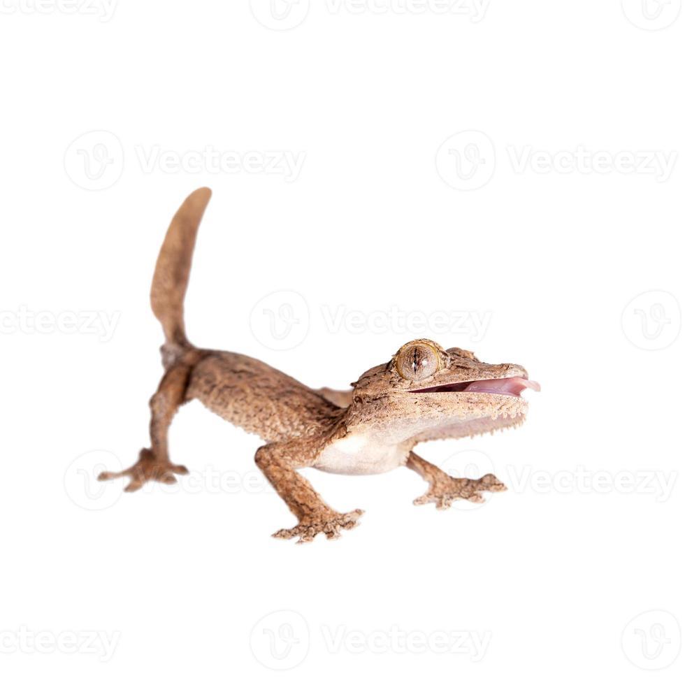 Gecko de punta de hoja, uroplatus desconocido, en blanco foto