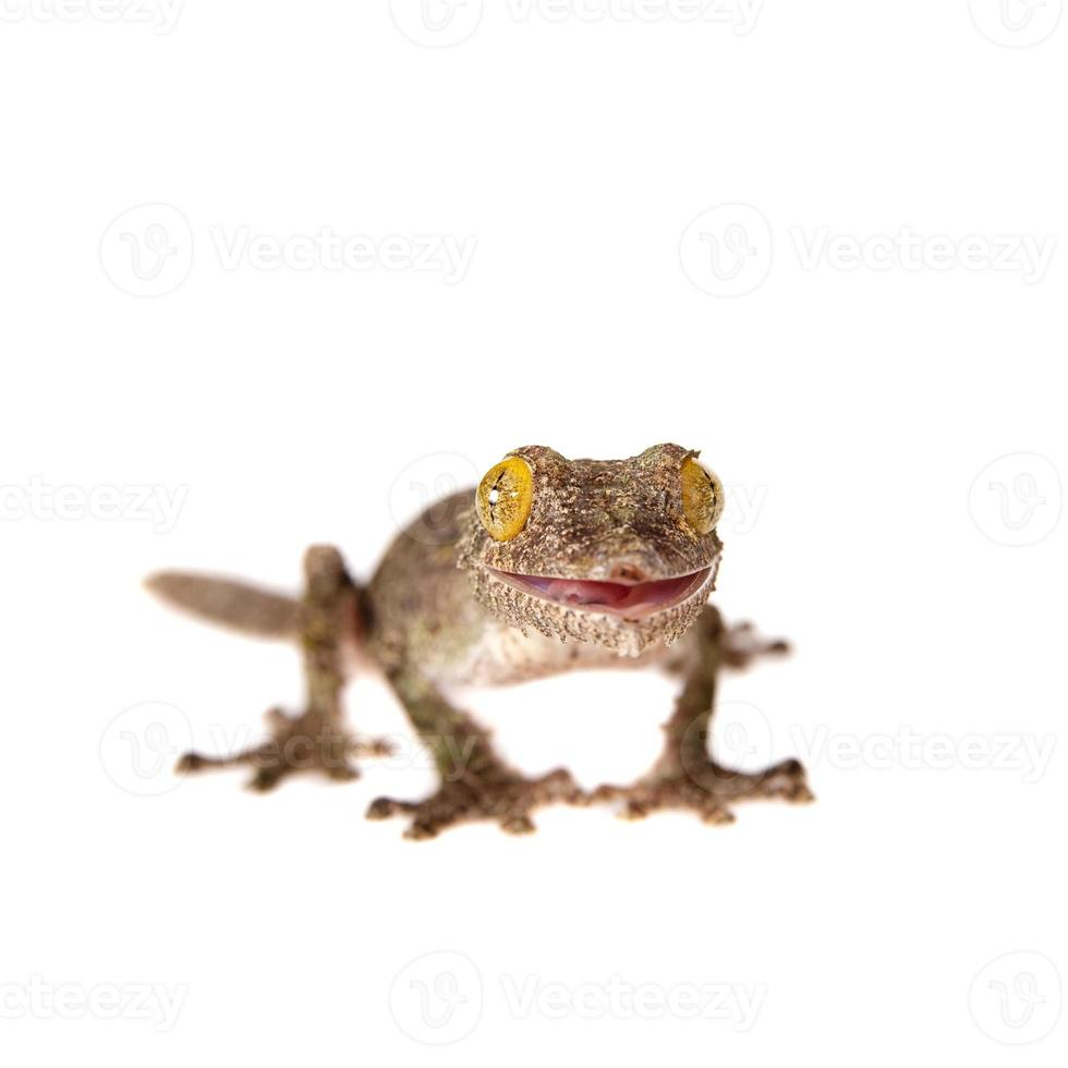 Gecko de cola de hoja, uroplatus sameiti en blanco foto