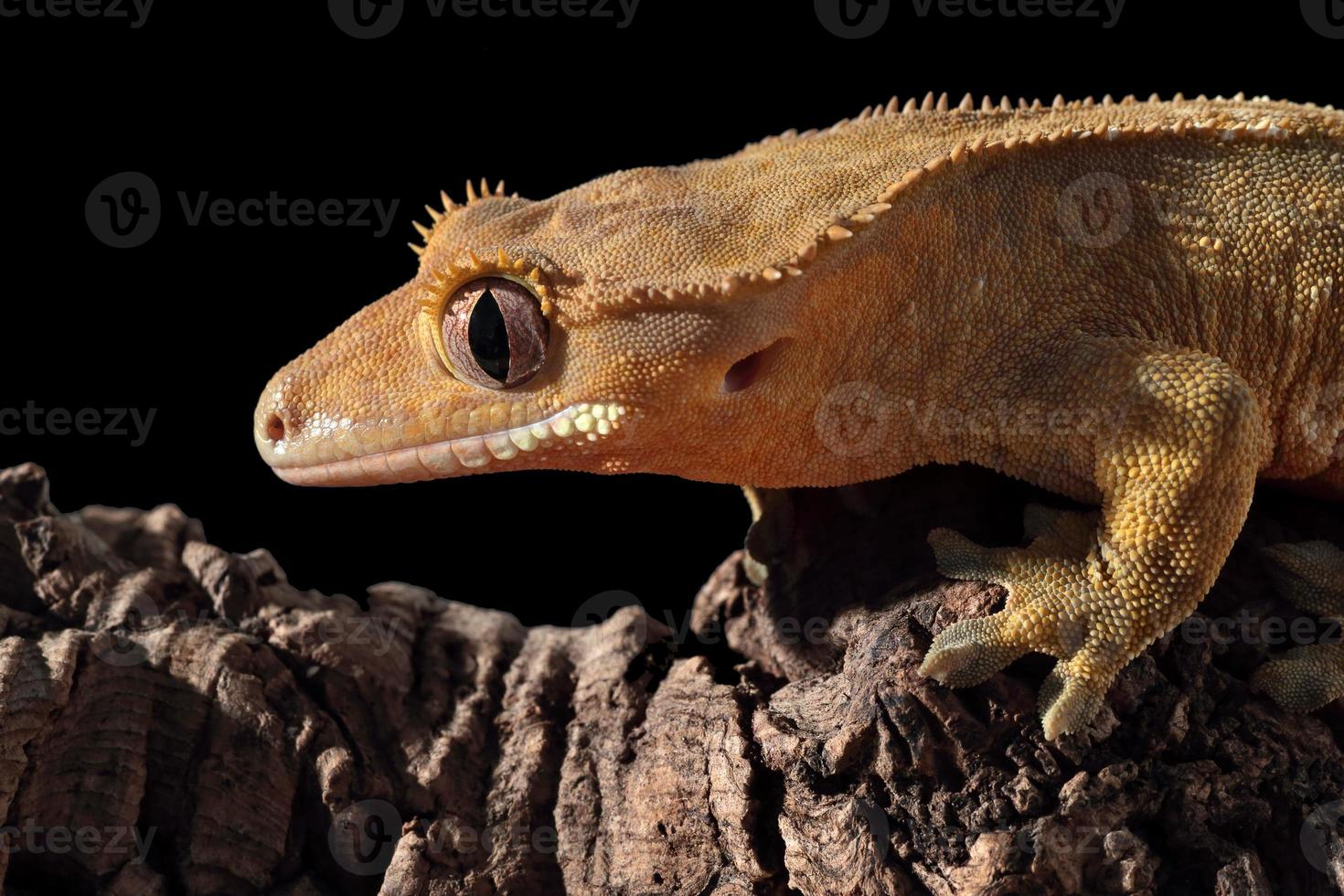 Caledonian crested gecko on a branch photo