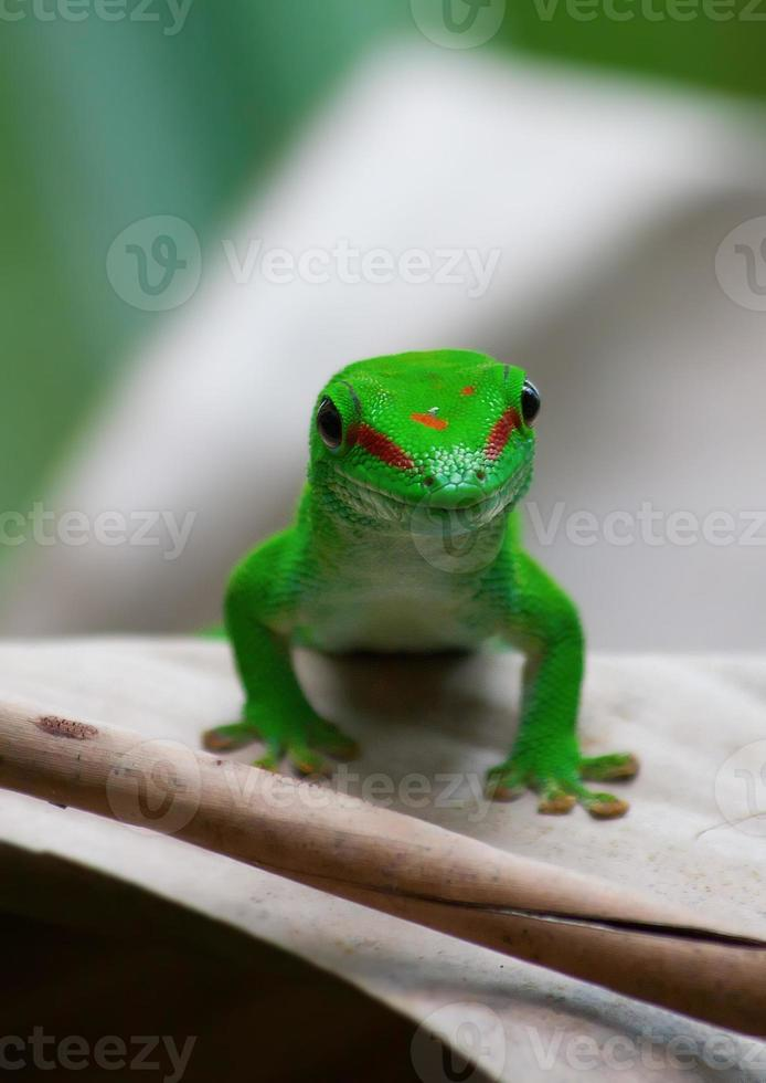 gecko verde foto