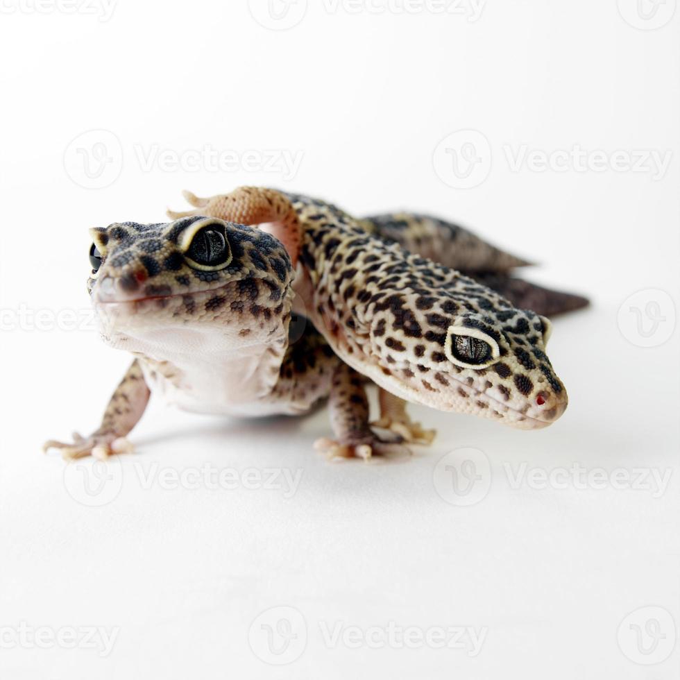 reptiles gecko manchado marrón aislado foto