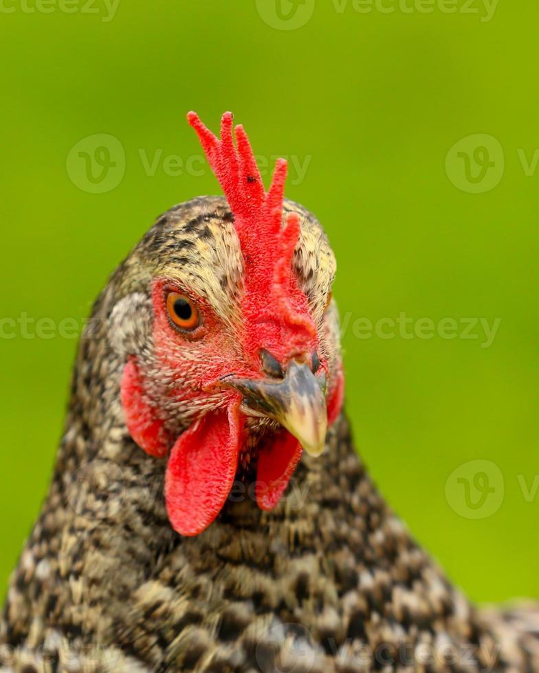 Head of a chicken photo