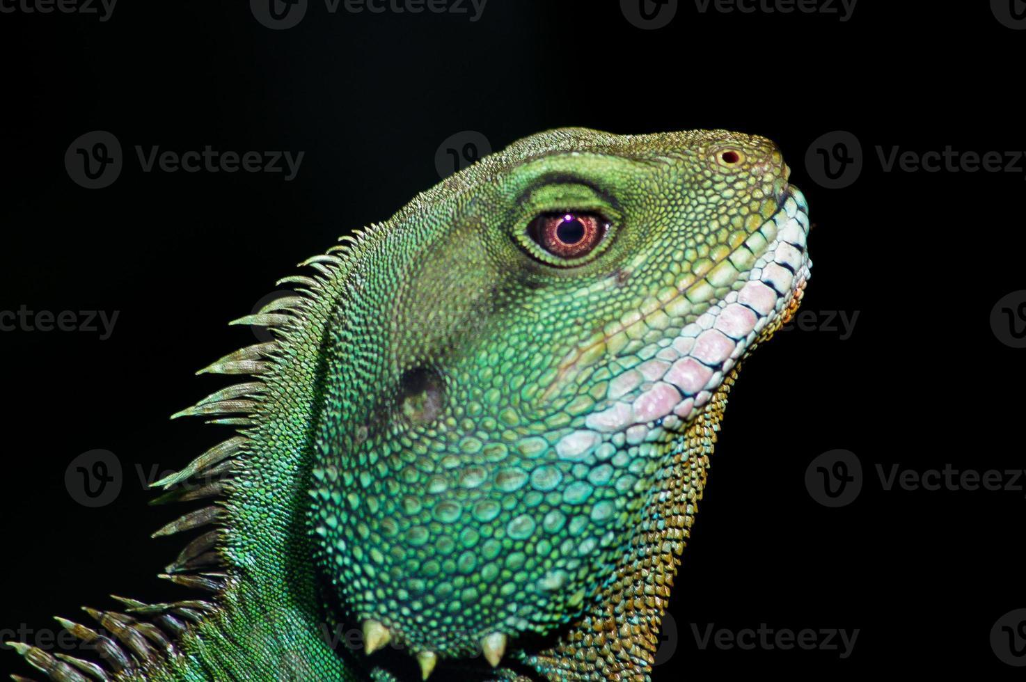 Cabeza de iguana verde de perfil en el parque zoológico de Chester, Reino Unido foto