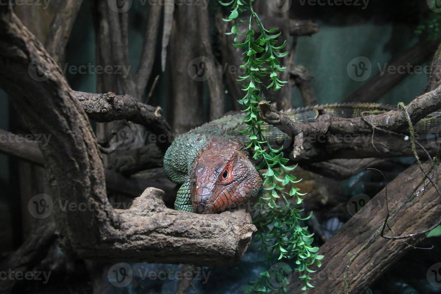 reptil colorido en una rama de árbol foto