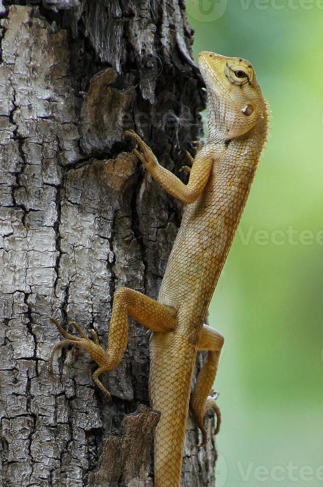 lagarto valla de jardín foto