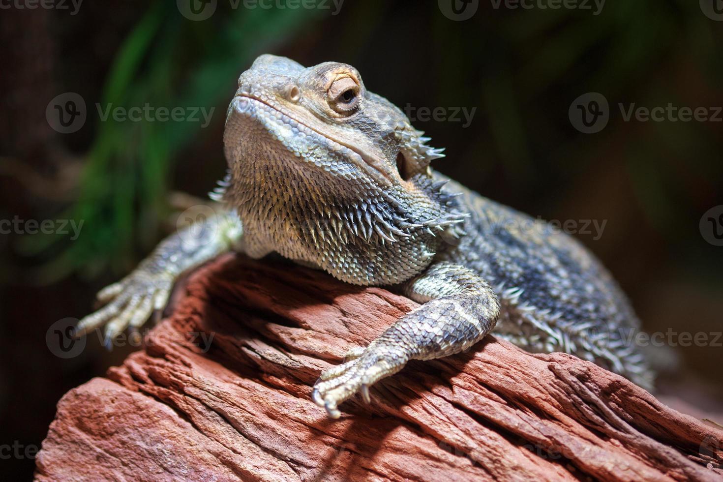 dragón barbudo (pogona) foto