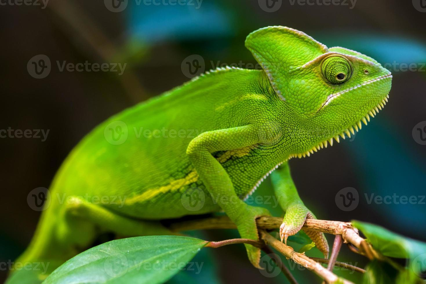 A close-up shot of a green chameleon holding on to a branch photo