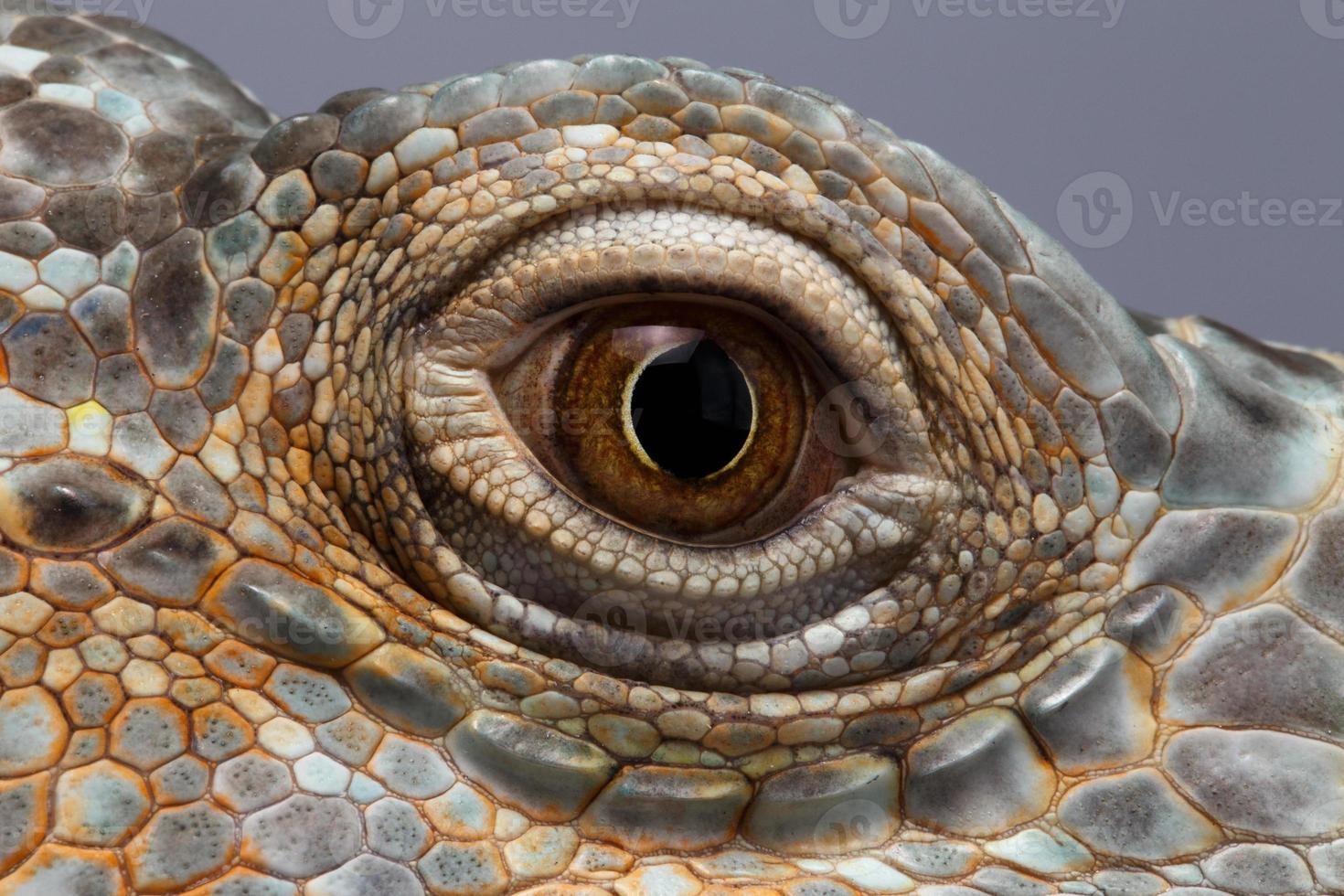 primer ojo de iguana verde foto