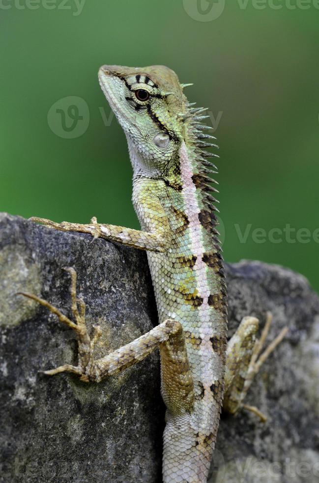 cresta verde, cara negra, árbol, lagarto boulenger foto