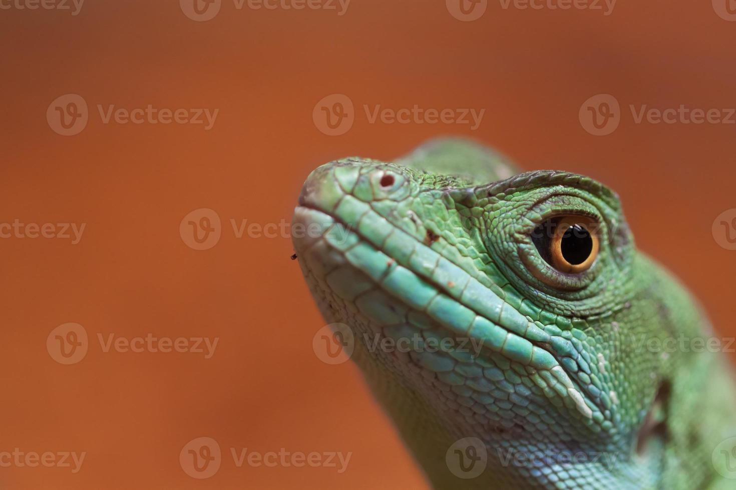 Chinese Water Dragon photo