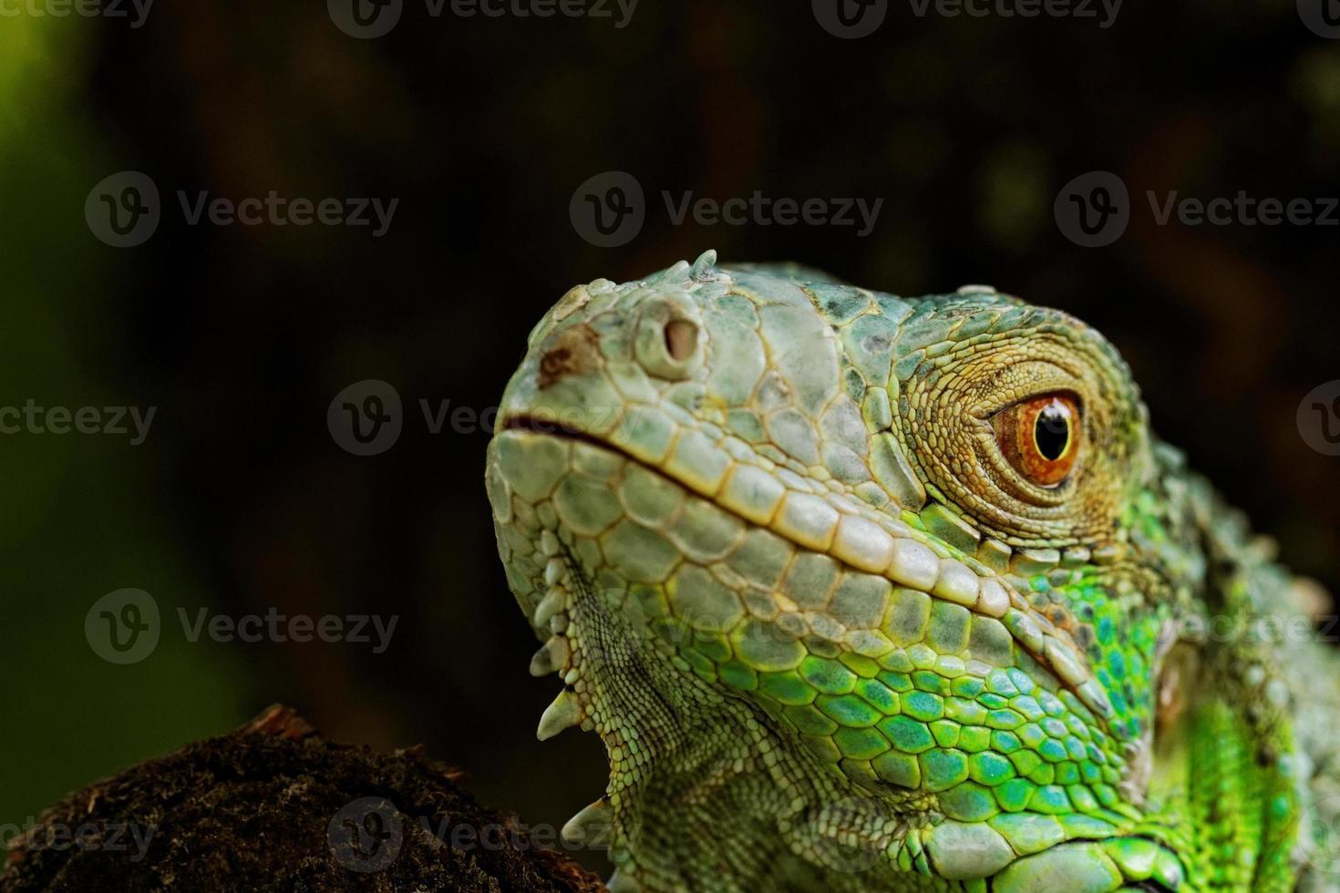 portrait about a green iguana photo
