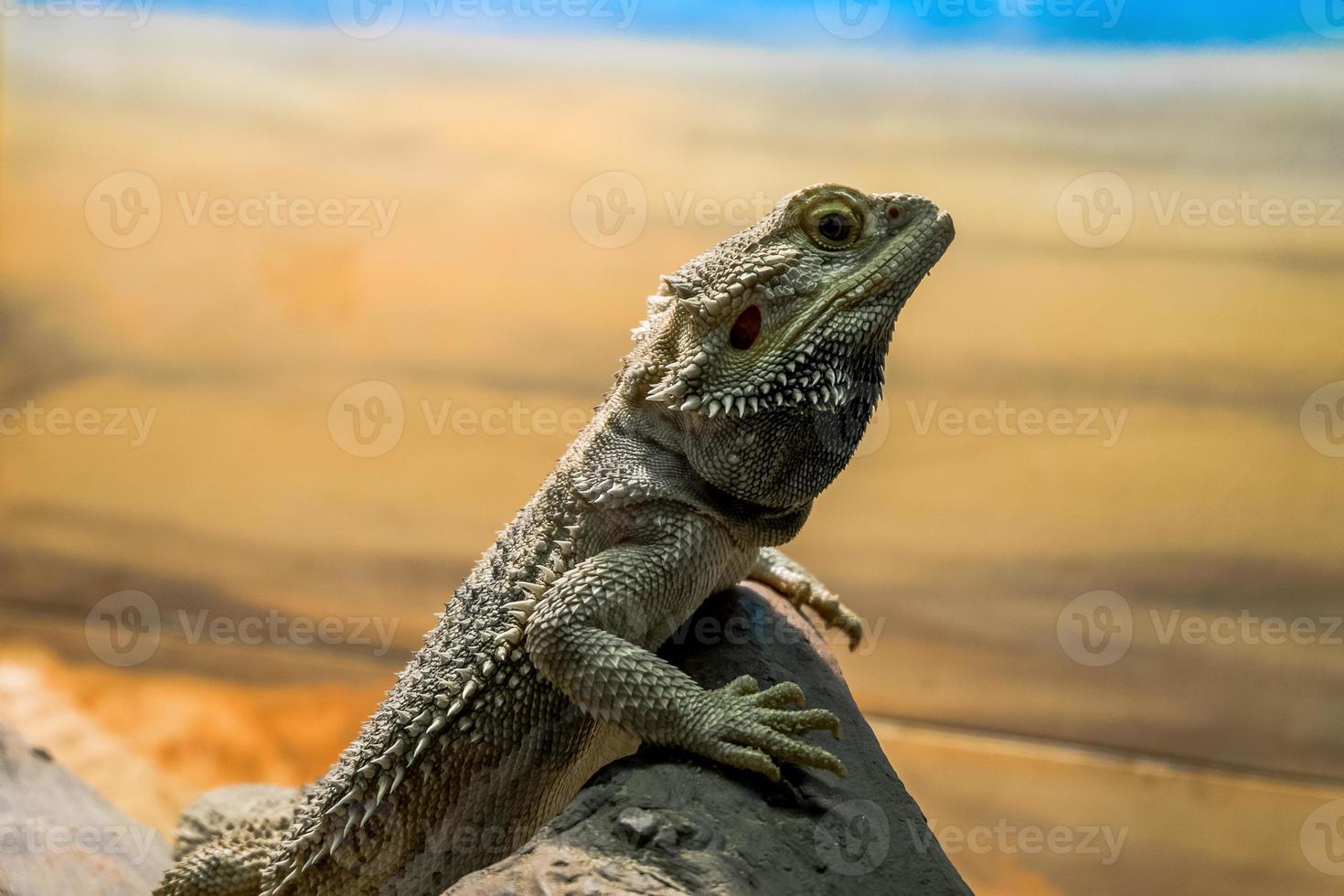 Bearded dragon on rock photo
