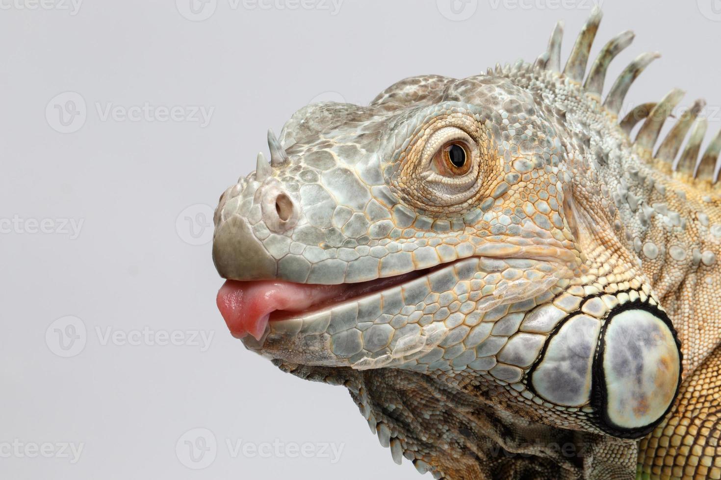 Closeup iguana verde mostrando lengua en blanco foto