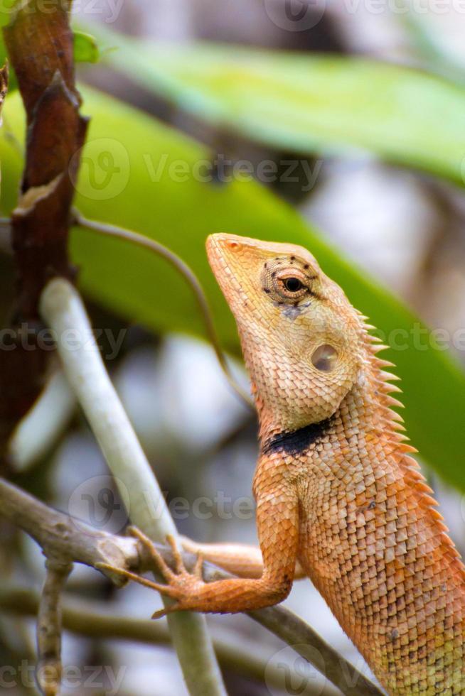 lagarto tailandés marrón en el árbol foto