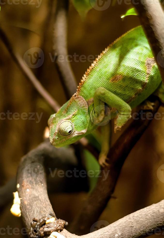 camaleón verde en la rama foto