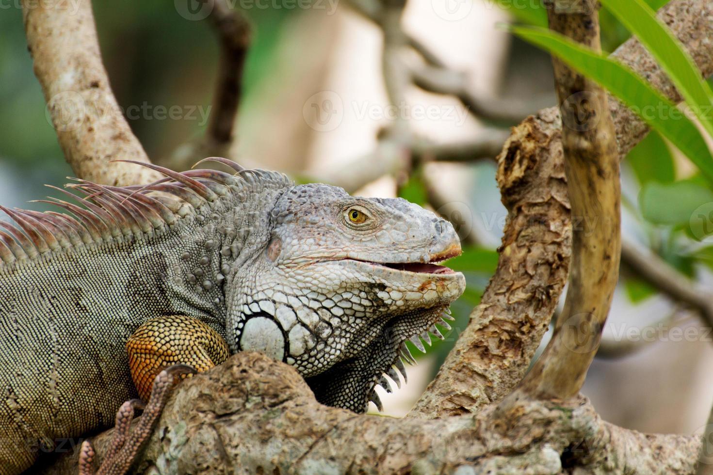 lagarto iguana trepando un árbol en la naturaleza foto