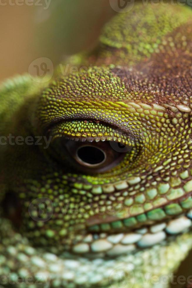 cabeza y ojo de un agama adulto (physignathus cocincinu) foto