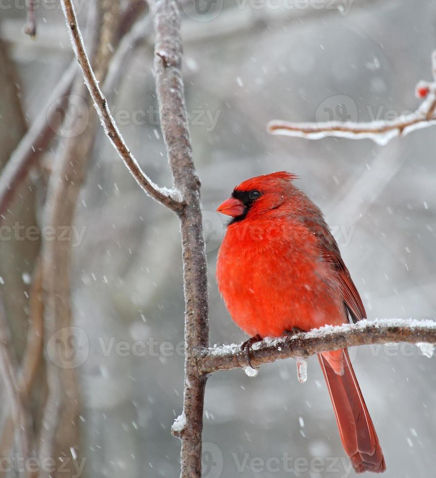 cardenal norteño, cardinalis cardinalis foto