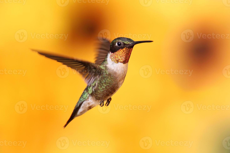 colibrí garganta de rubí en vuelo foto