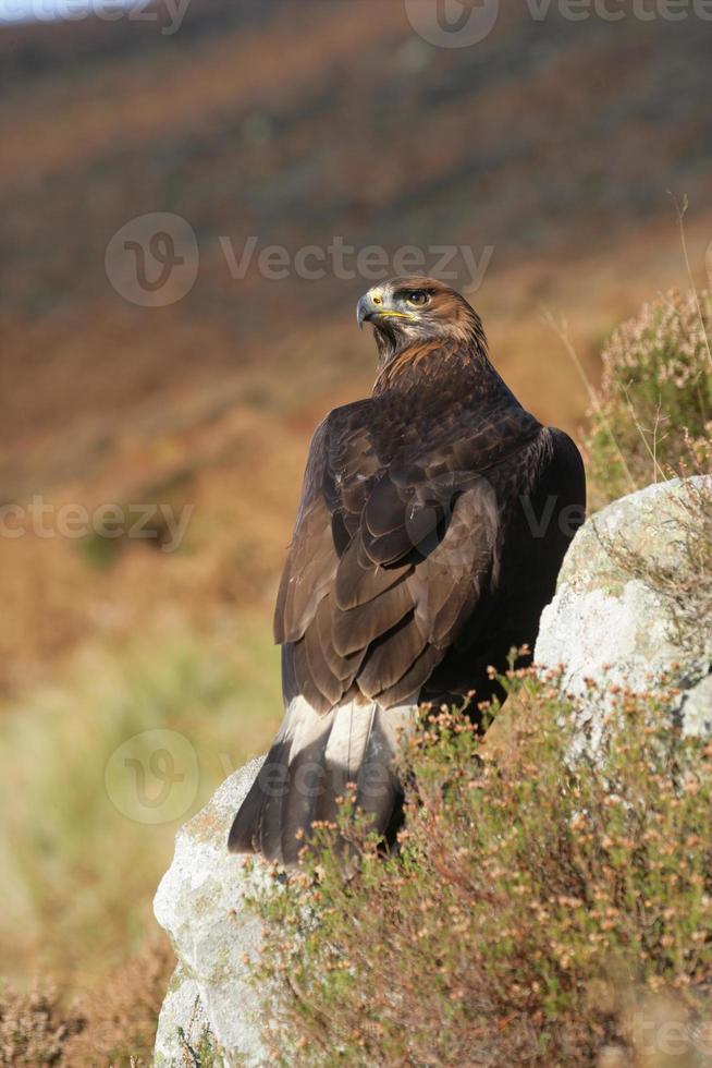 Golden eagle, Aquila chrysaetos photo