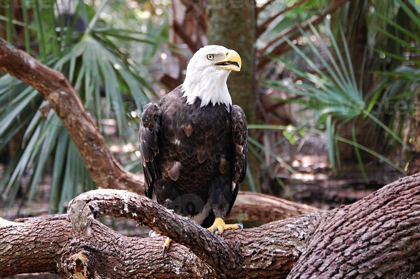 águila calva encaramada foto